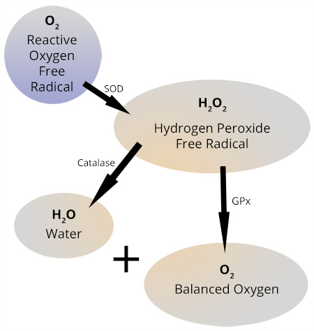 tire damage diagram oxidative stress and the role of antioxidants, ozone ... oxidative damage diagram #13